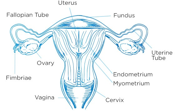 Your Menstrual Cycle Phases | Always.com